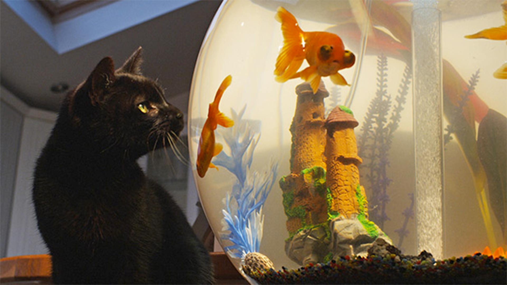 Black cat looking at goldfish in a tank.