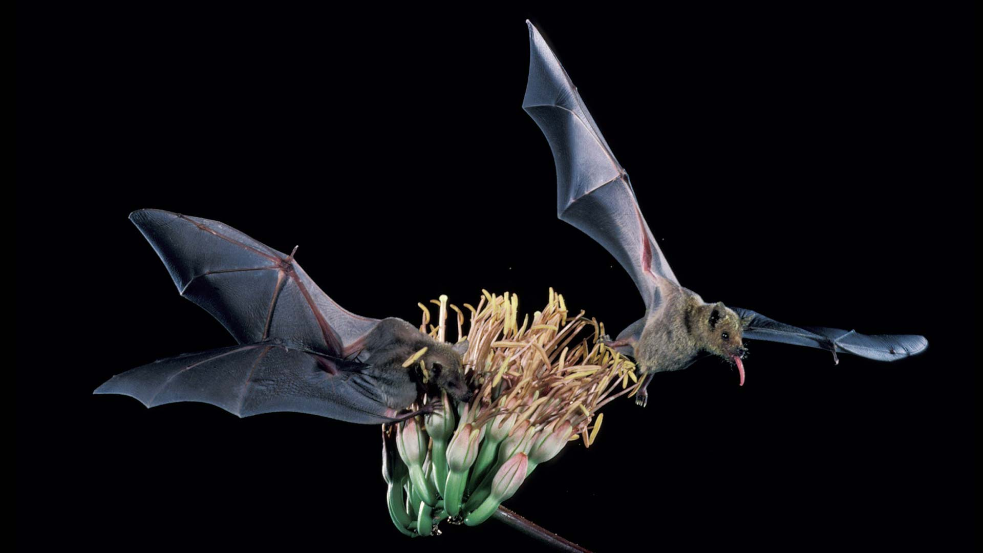 The lesser long-nosed bat.