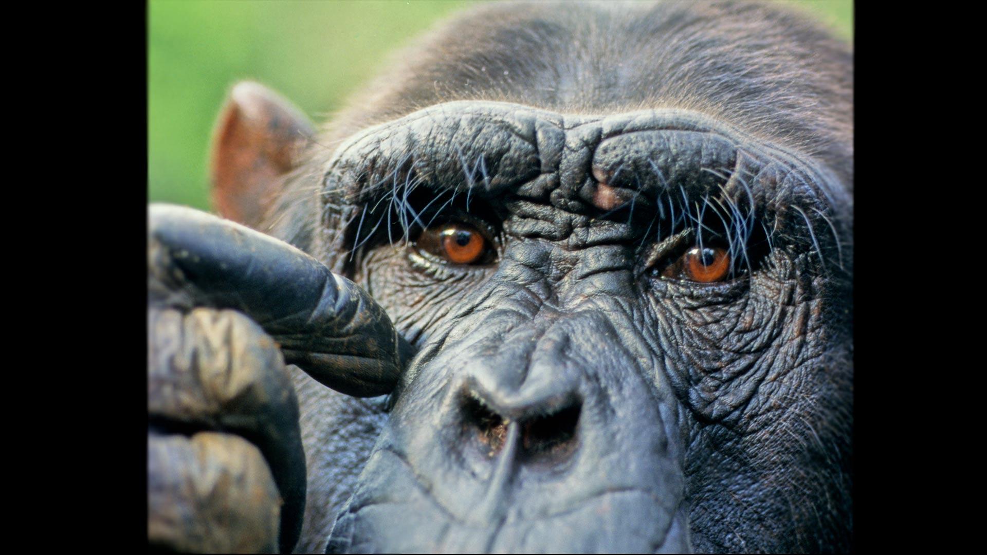 Portrait of Male Chimpanzee.