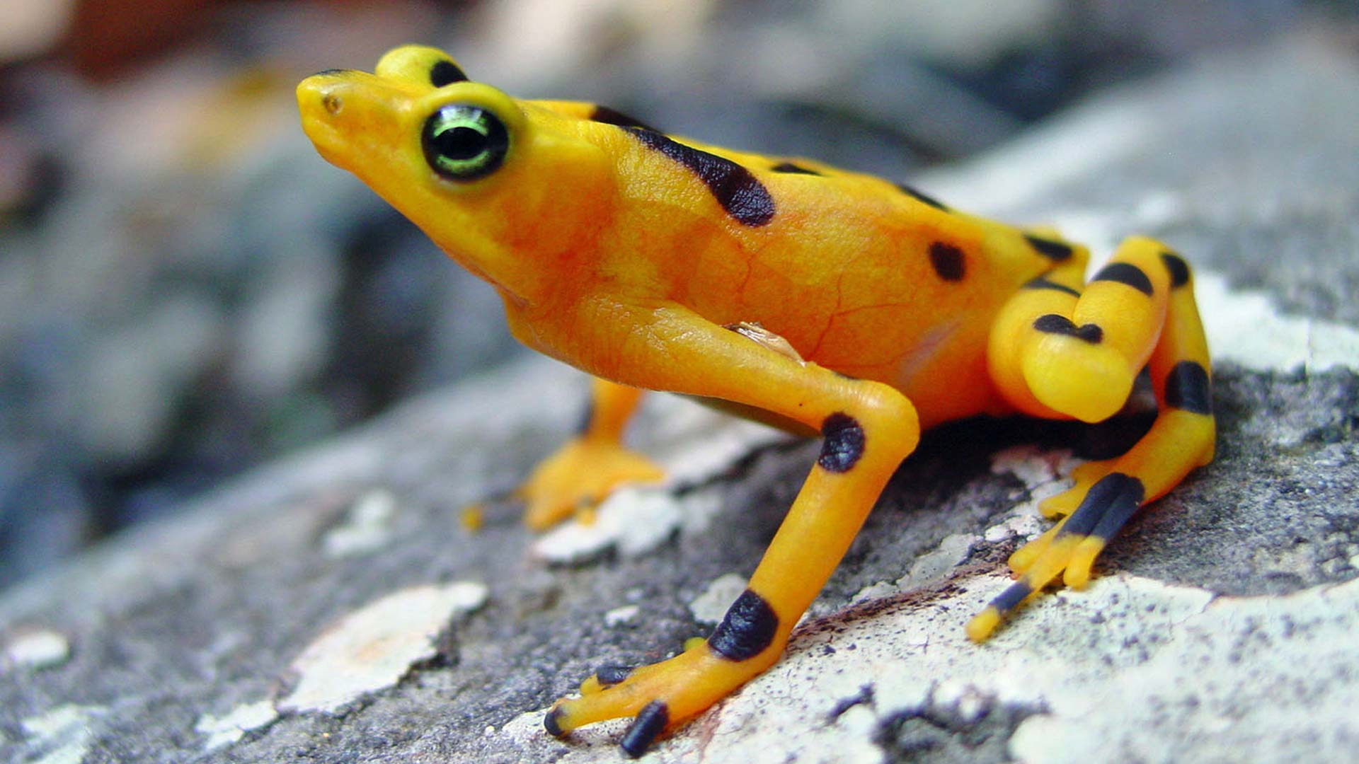 A healthy golden frog in the streams of Panama.