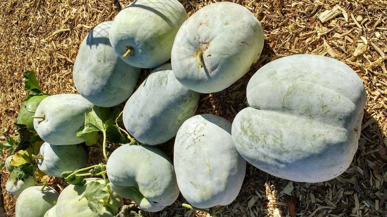 The new winter melon crop grown from heirloom seeds donated by Chinese Tucsonans in the Mission Gardens.