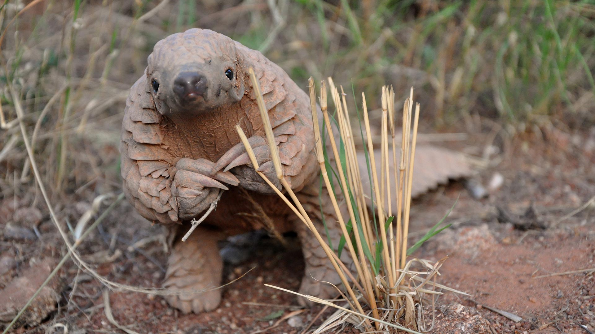 Almost nothing is known about the lives of pangolins in the wild, yet they have become the most trafficked wild mammal in the world.