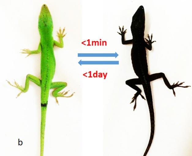 Gecko_Pigmentation