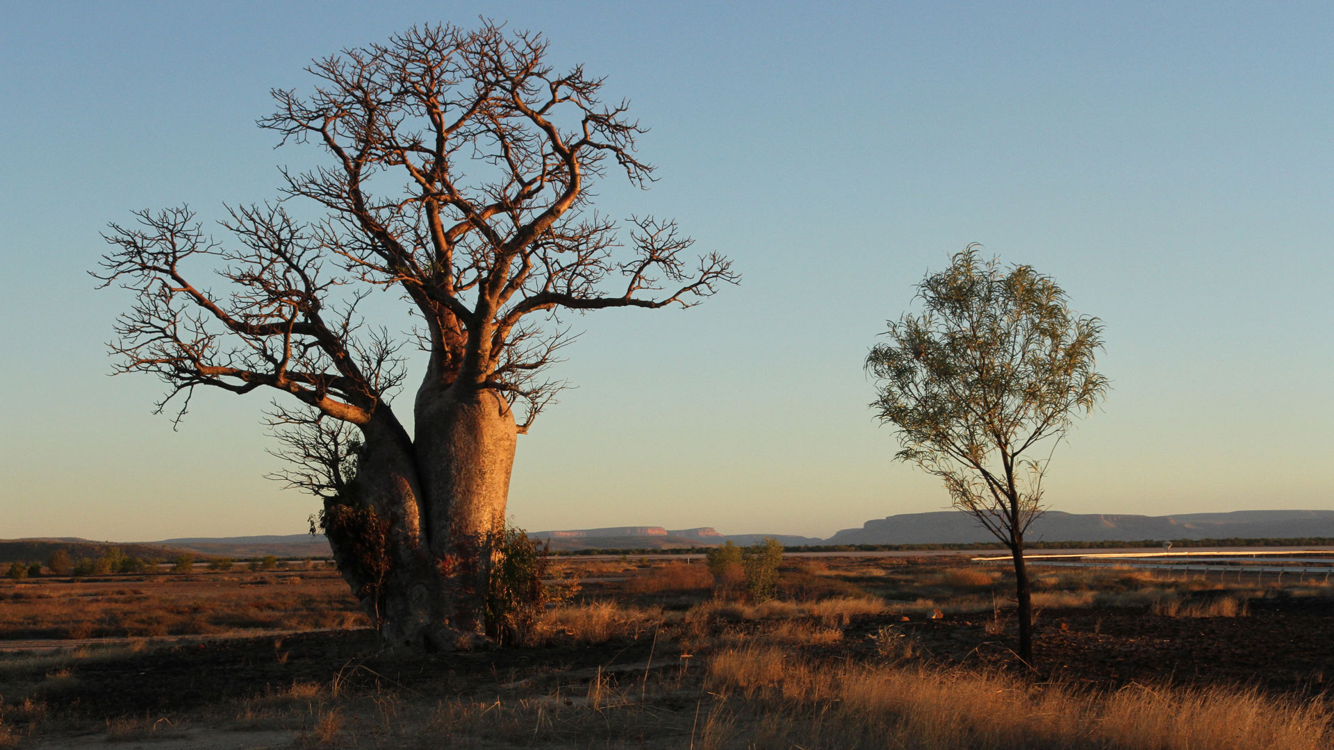 THE OUTBACK Boab Tree
