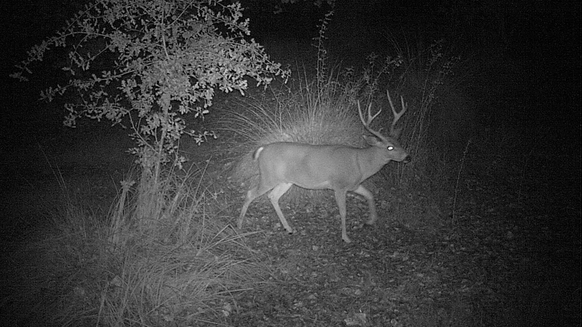 A deer caught on a trail camera in the Sacramento River National Wildlife Refuge in California.