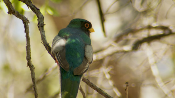 An Elegant Trogon perches on a branch in Madera Canyon.
