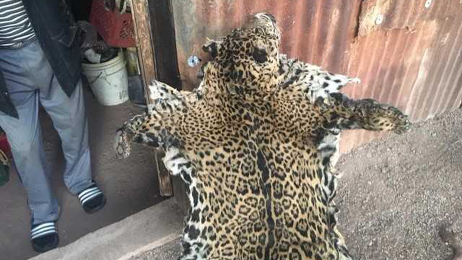 Government officials received this picture of a jaguar pelt, and biologists say its spots correspond to those on a jaguar seen in pictures taken by a trail camera in Arizona.