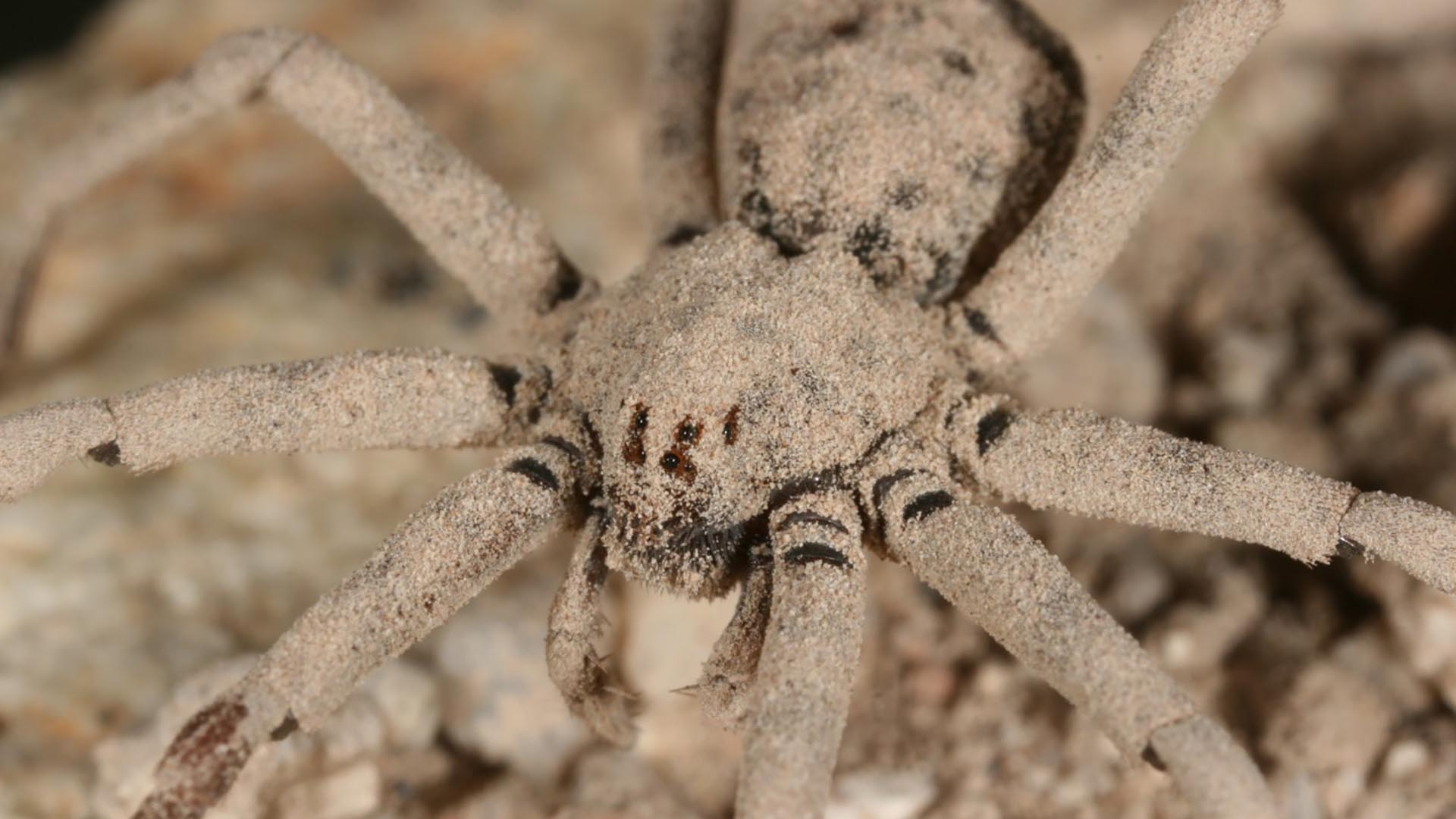 The sand spider, Homalonychus selenopoides, takes a dust bath after each molt.