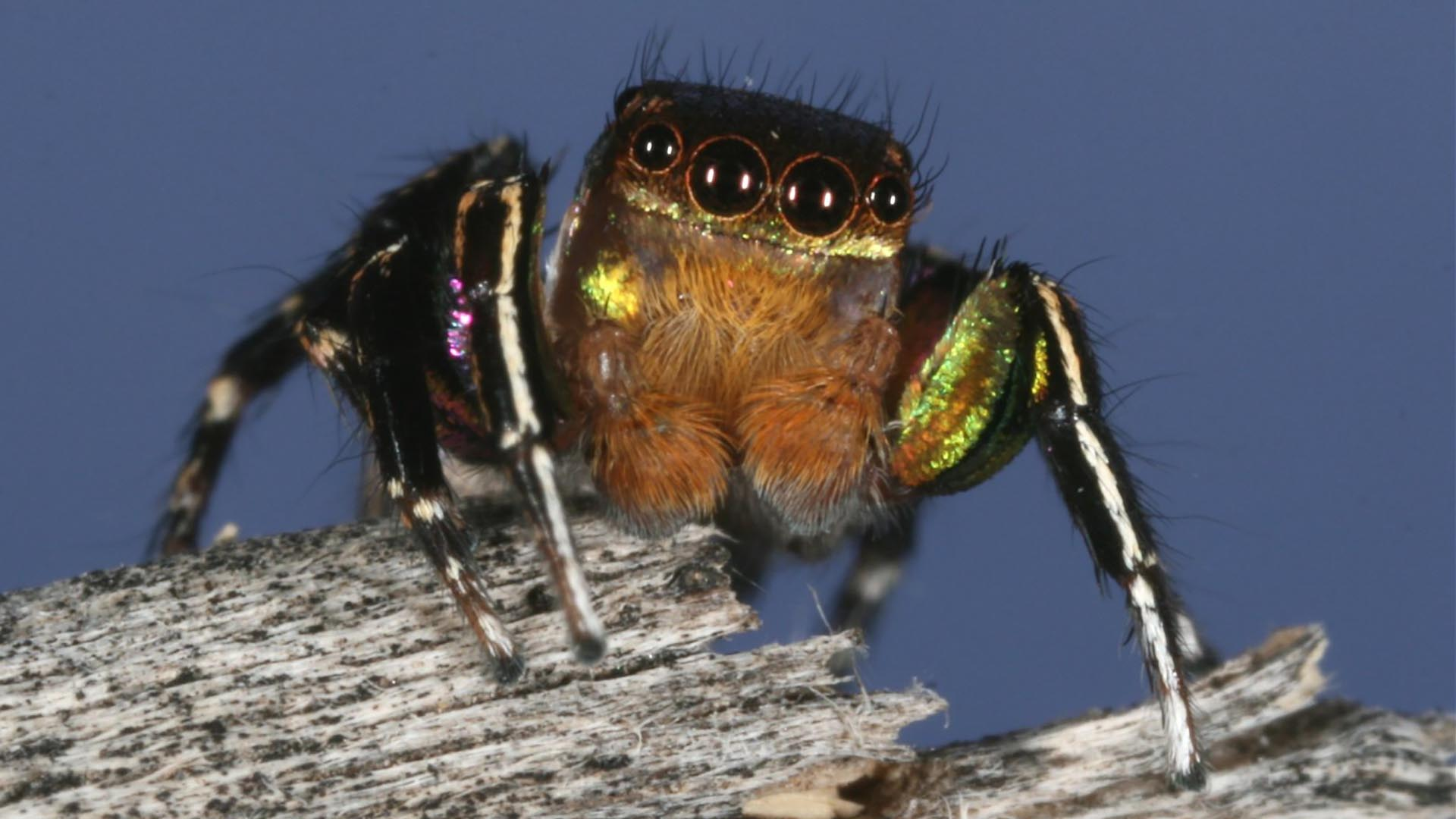 jumping spider eyes hero