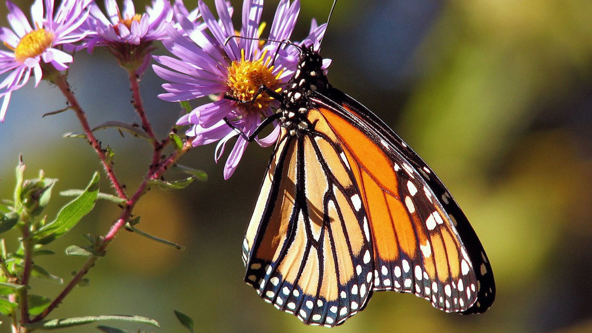 Monarch butterflies are among the most popular in Arizona and across the United States.