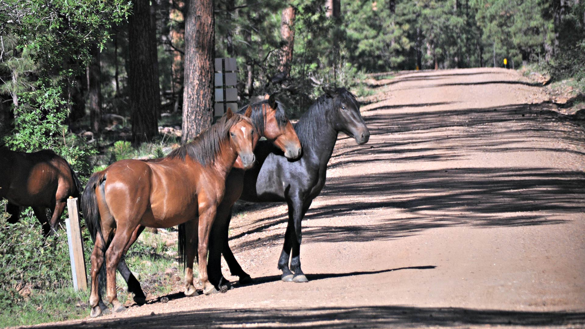 Wild horses near Heber-Overgaard, Arizona in the Apache-Sitgreaves National Forest.
