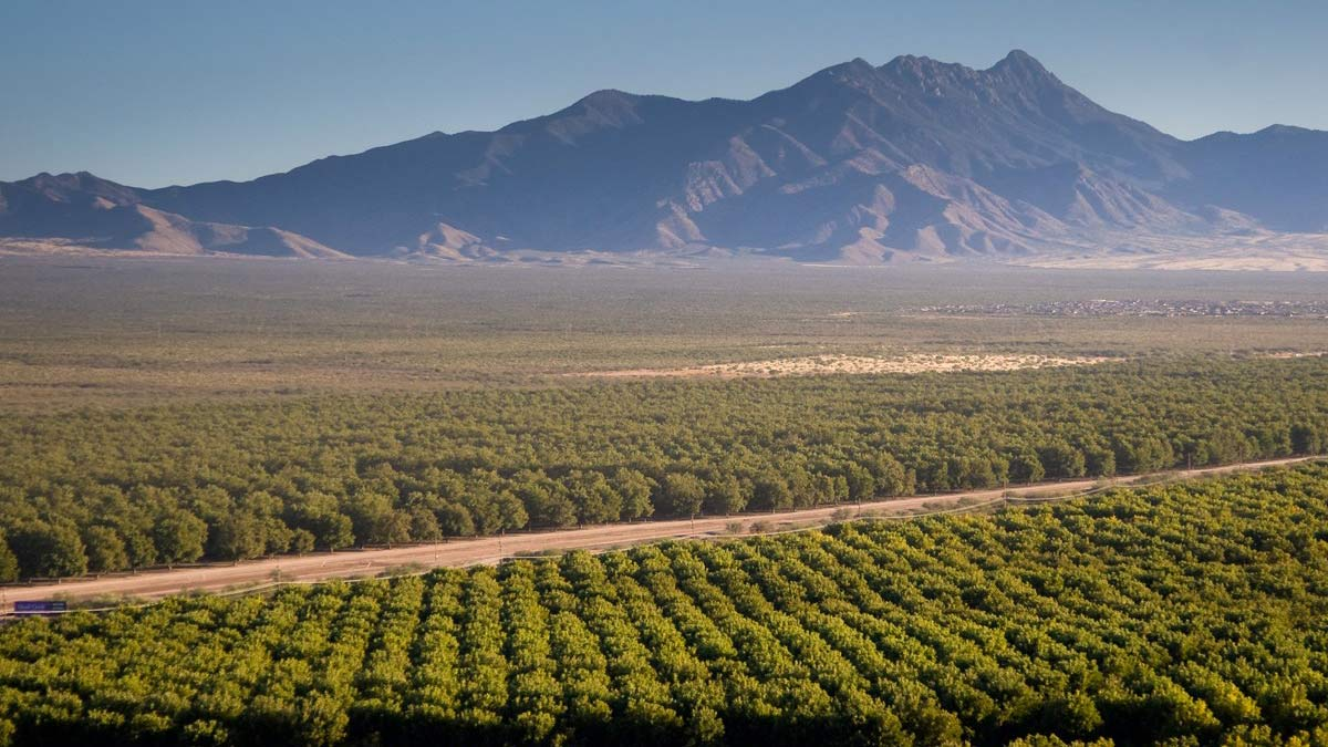 Pecan trees grown by the Green Valley Pecan Company in Sahuarita.