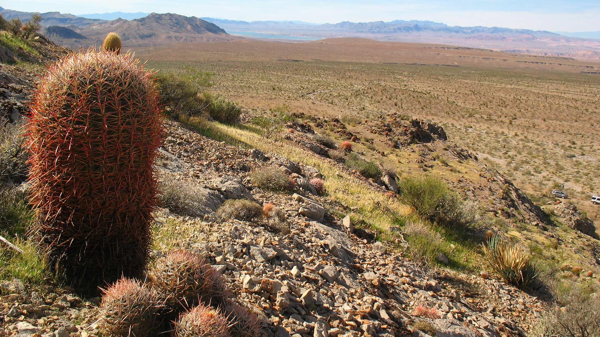 Cactus Mojave Desert