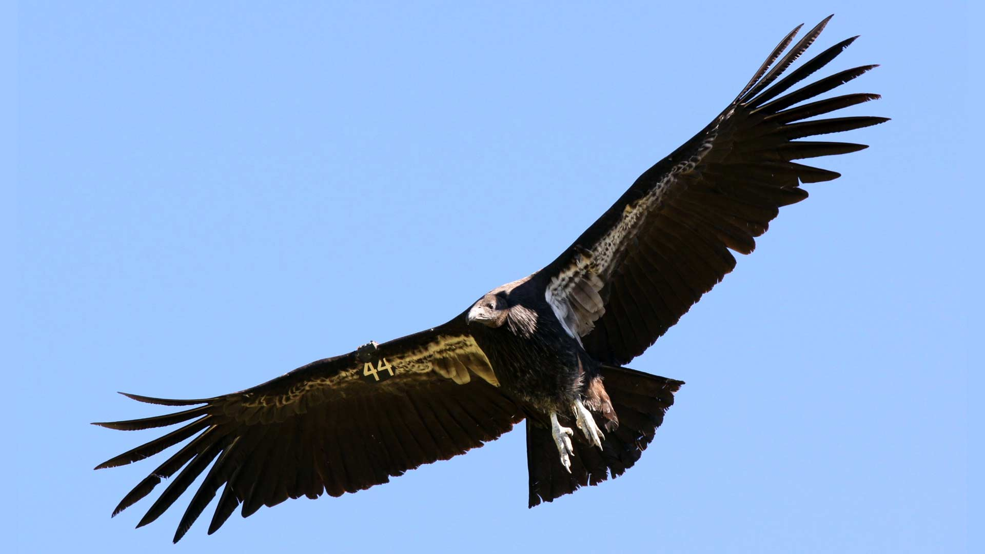 The California condor was on the verge of extinction in the 1980s, but agencies and environmental groups have worked to bring numbers back up, according to the National Park Service.