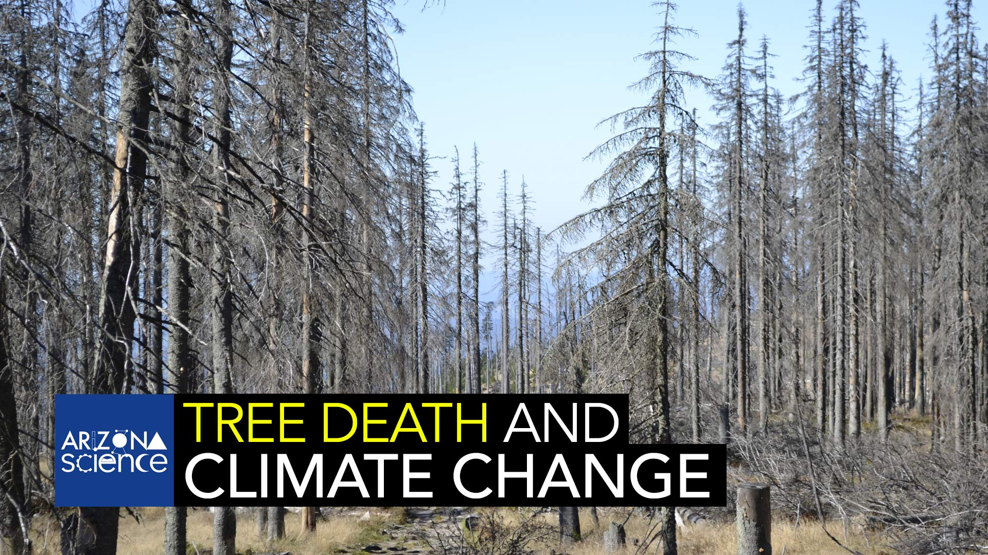 The frequency of large-scale tree die-offs inhibits their fight against climate change.