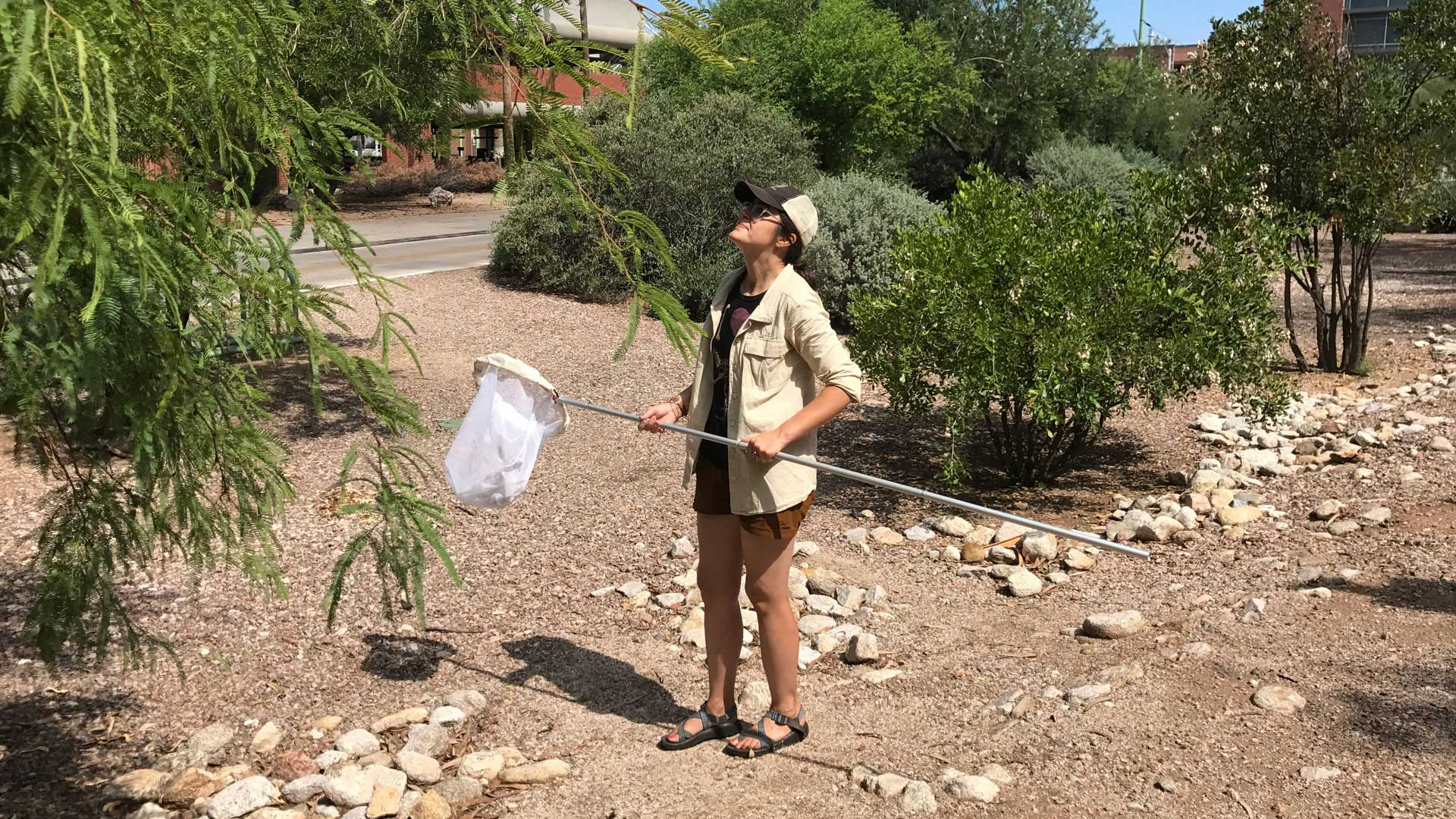 DeAnna Bublitz finds plenty of cicadas on the University of Arizona's mesquite trees.