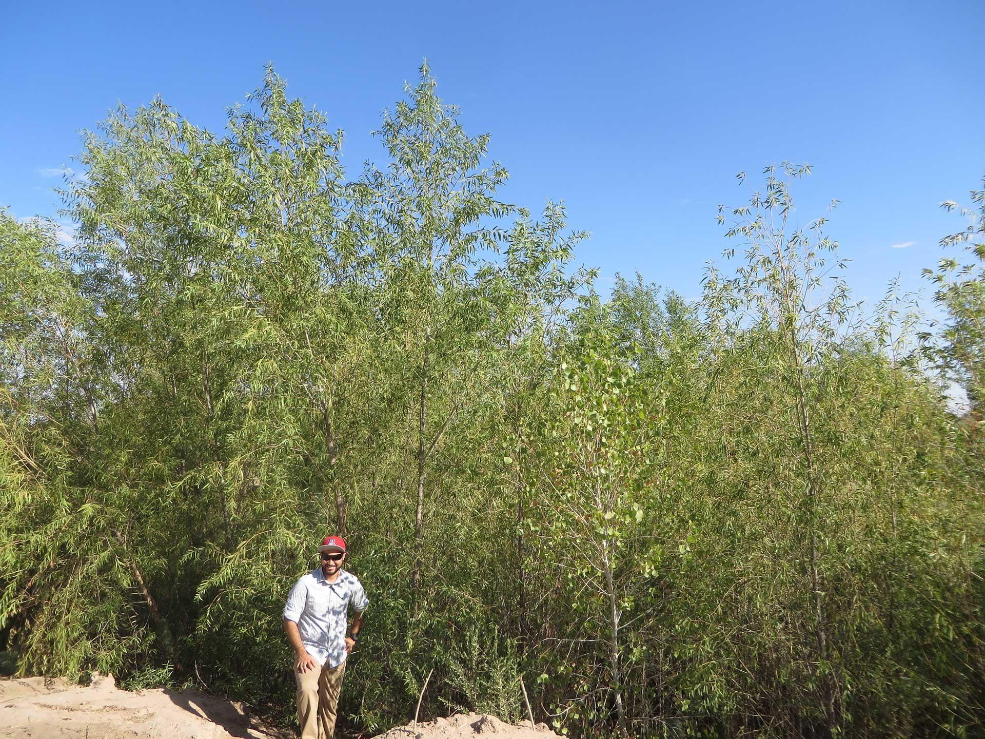Colorado Delta Willow Trees