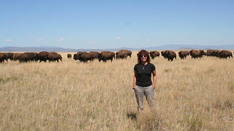 Bison graze on the Blackfeet Reservation in northern Montana, where Maria Nieves Zedeño has conducted research in collaboration with the tribe.
