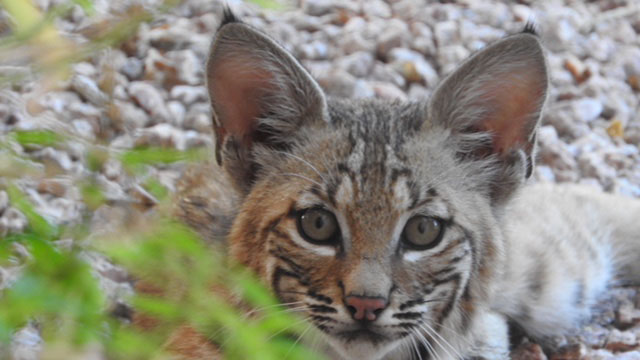One of the many young bobcats that Merry Lewis has witnessed being raised in her Tucson Foothills backyard since 1997.