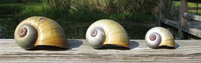 apple snail shells view larger