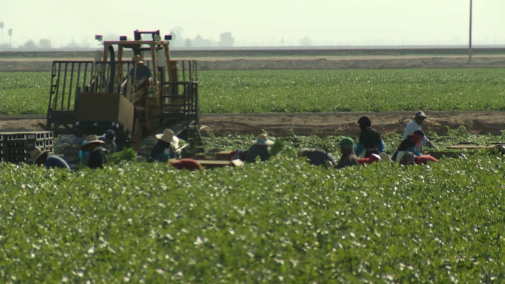 Workers harvest greens alongside farm equipment in the Yuma area.