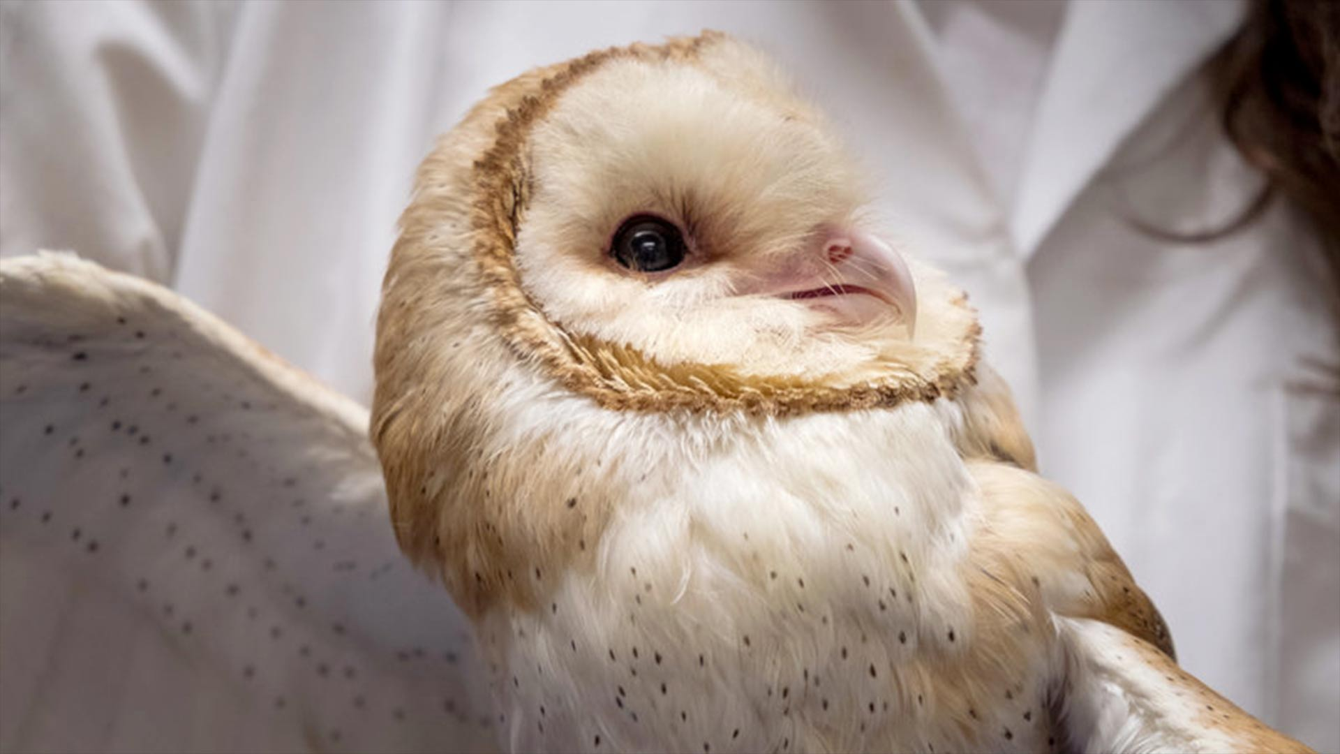 Scientists at Johns Hopkins University are studying barn owls to understand how the brain maintains focus.