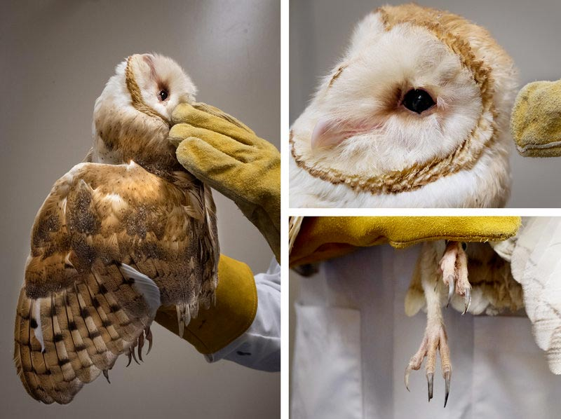 npr_story_barn_owl_collage