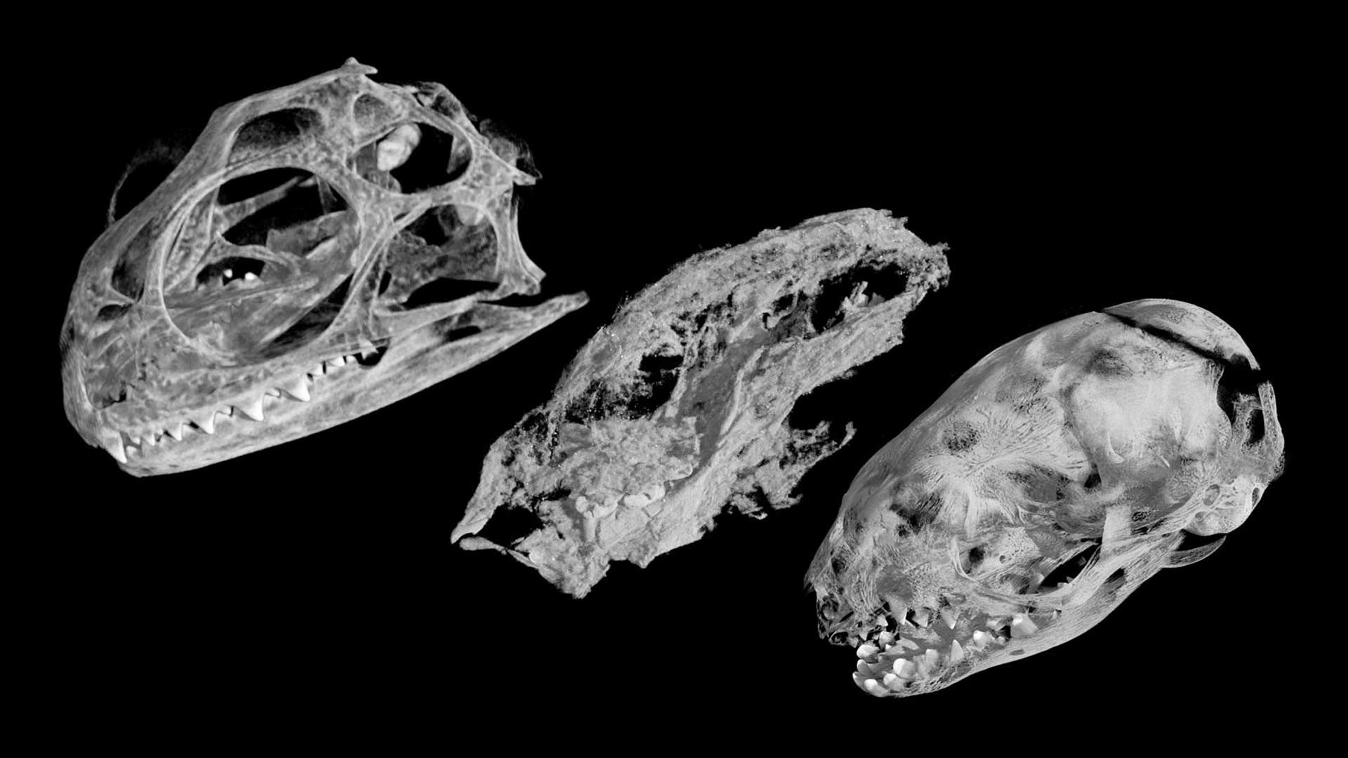 Skull CT scans of, left to right, a modern tuatara hatchling, Kayentatherium offspring, and a 27-day-old opossum, shown at the same magnification.