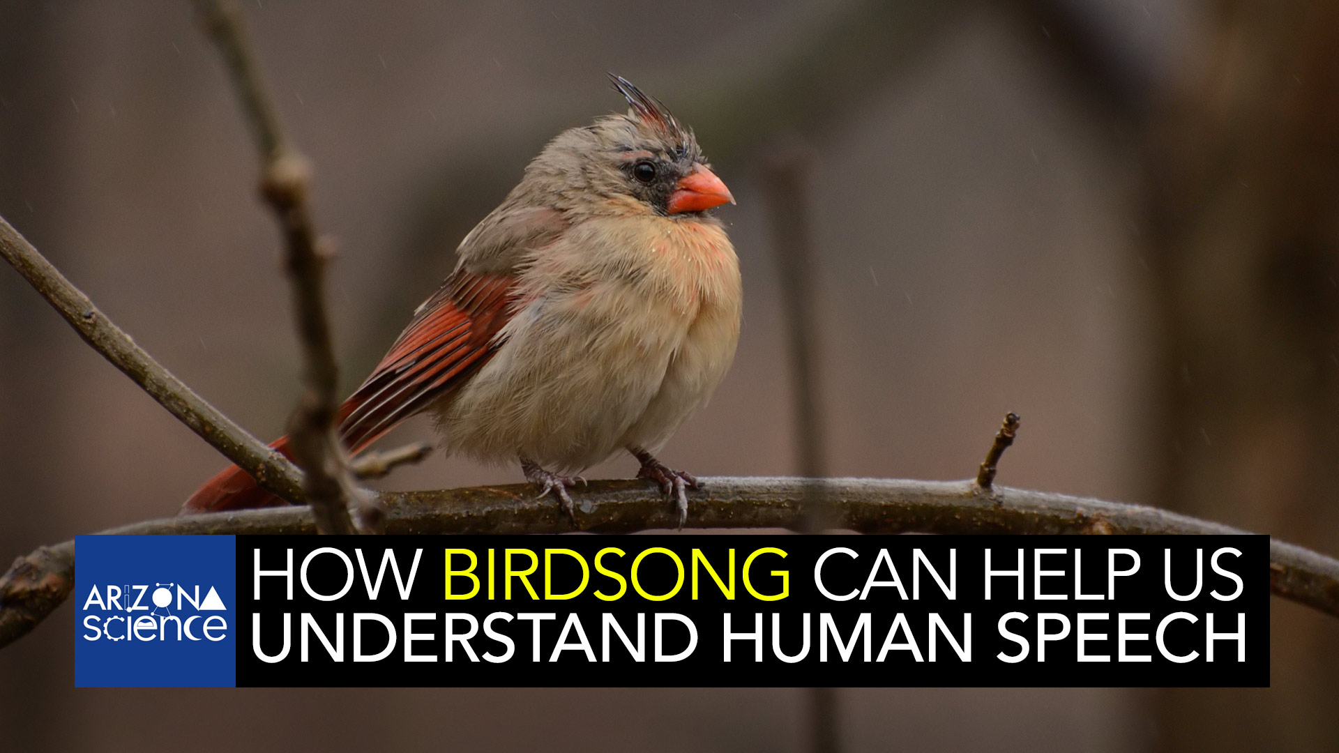 UA researchers believe studying bird vocalizations can lead to new treatments for human speech.