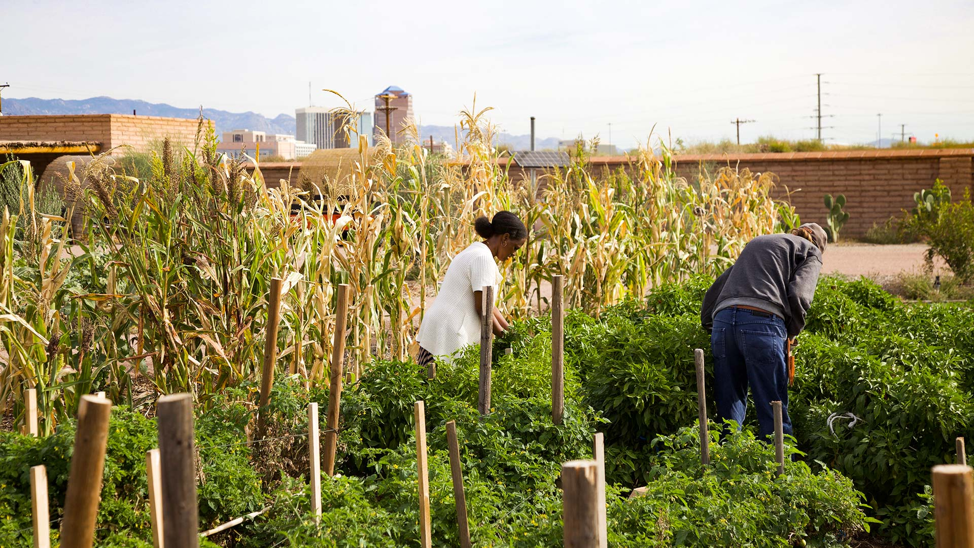 Volunteers work at the nonprofit-run Mission Garden with downtown Tucson's skyline in the background, November 2018.