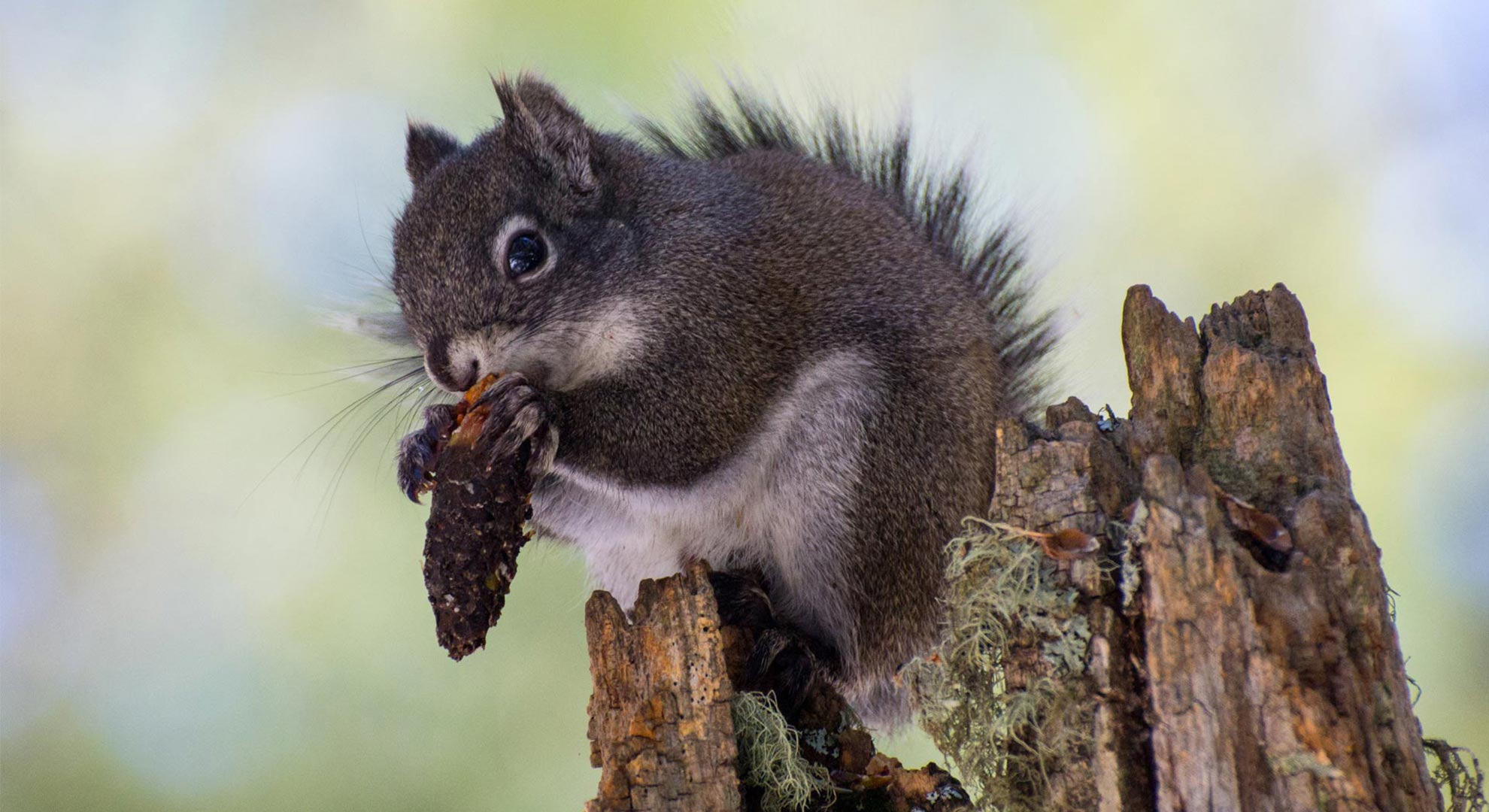 A wildfire last summer left even fewer numbers of the endangered red squirrel on Mount Graham.