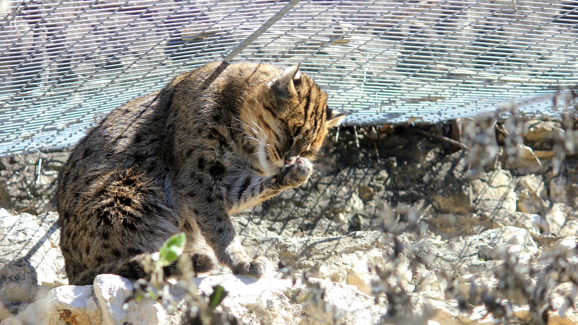 The fishing cat's habitat in South India, Sri Lanka and Bangladesh is being disrupted by aquaculture and economic development, a UA professor says.