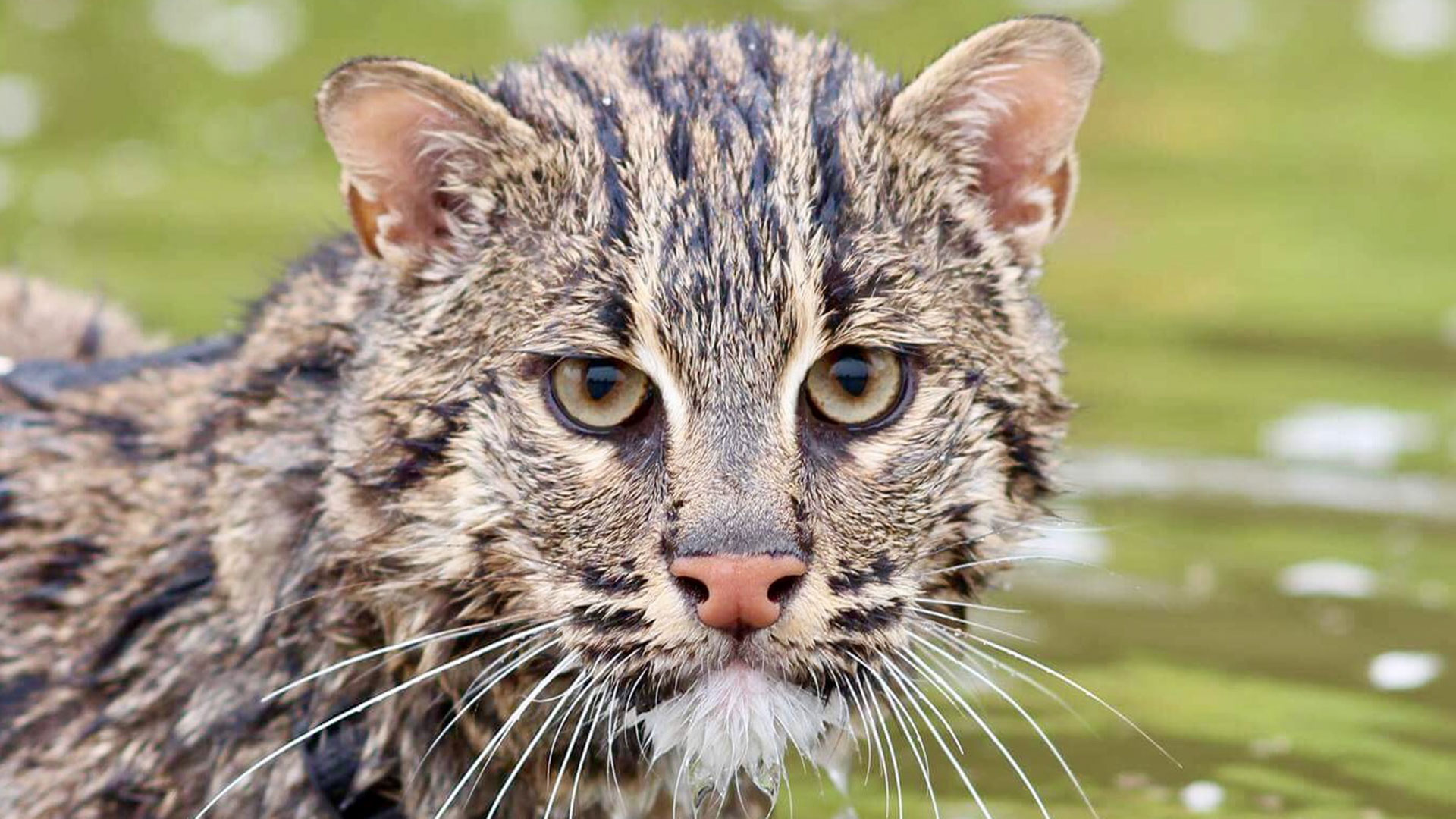 Fishing Cat Wet Face
