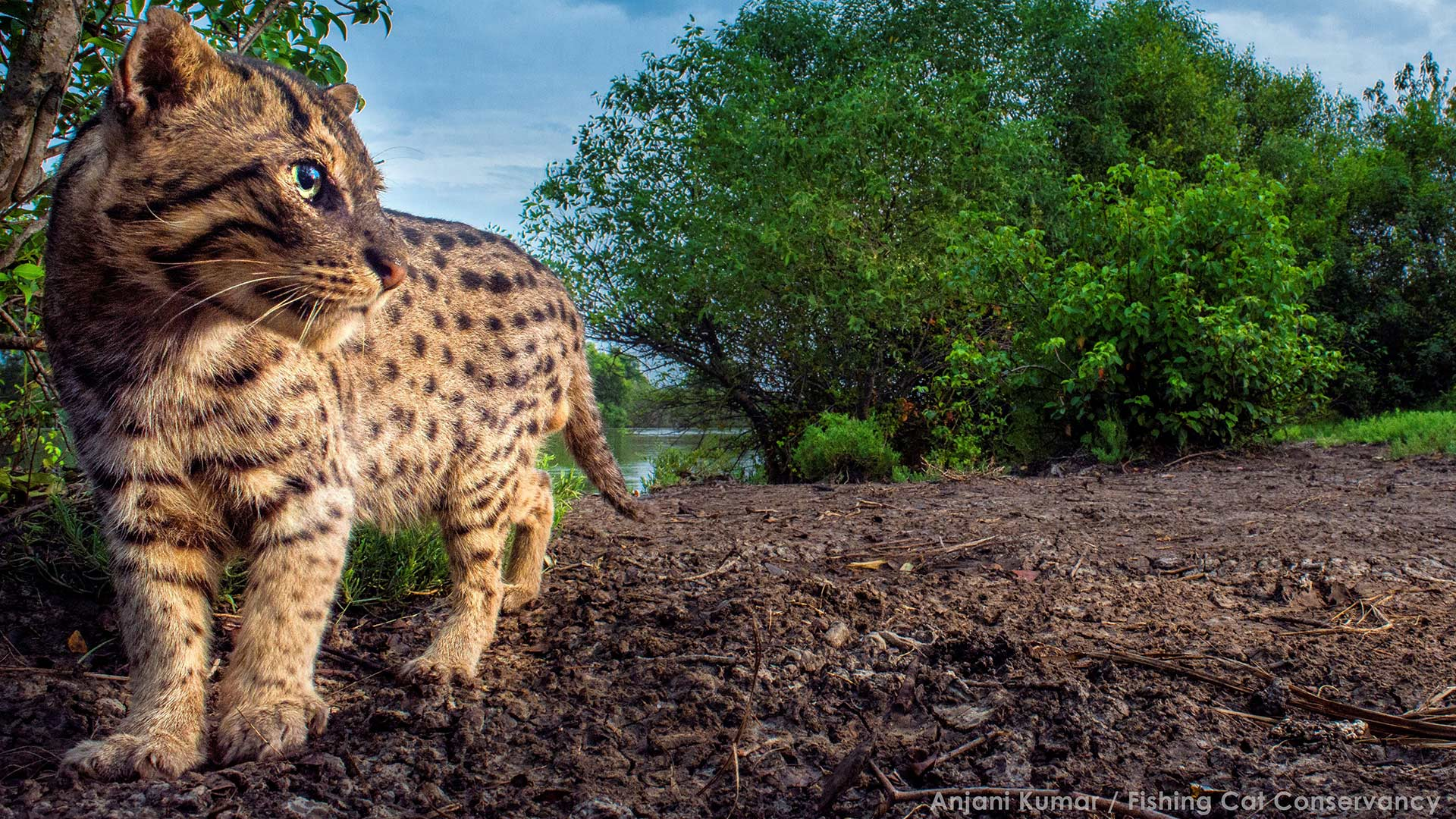 Fishing Cat River Bank