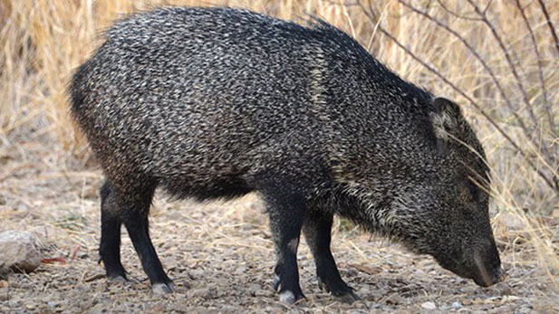 A collared peccary, or javelina.