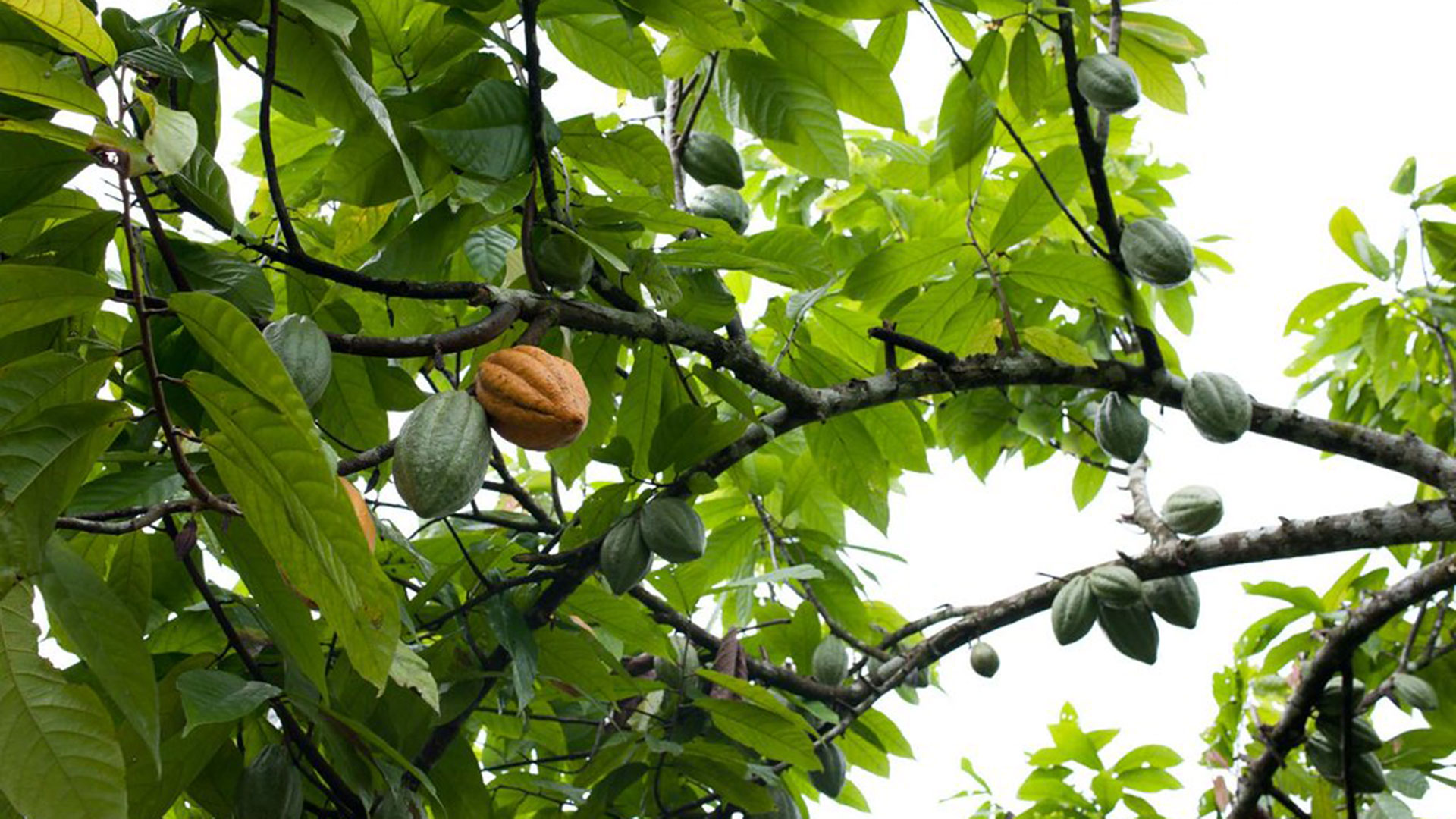 Cacao tree fruit.