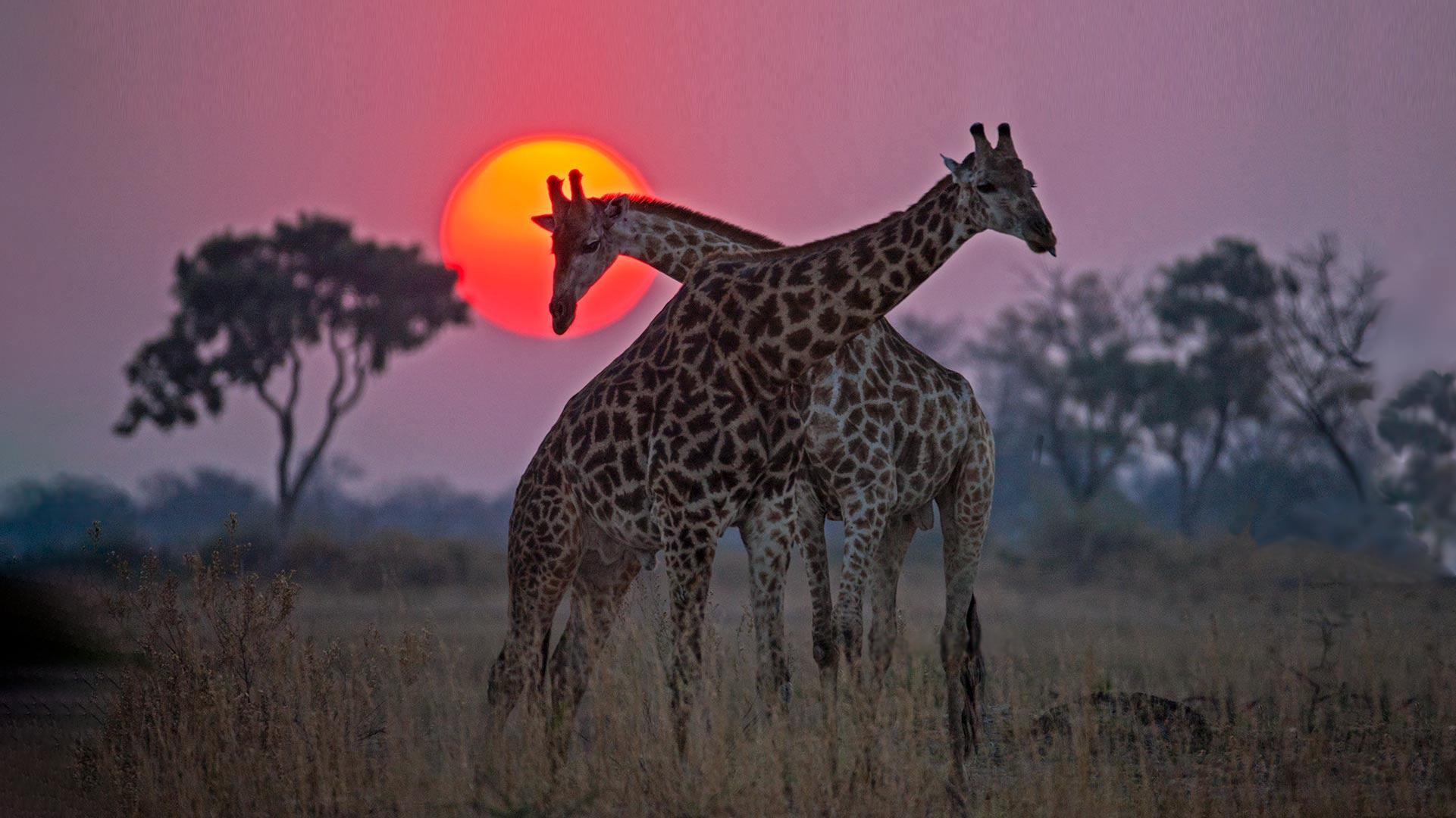 Two giraffe bulls fighting at sunset. Okavango Delta, Botswana.