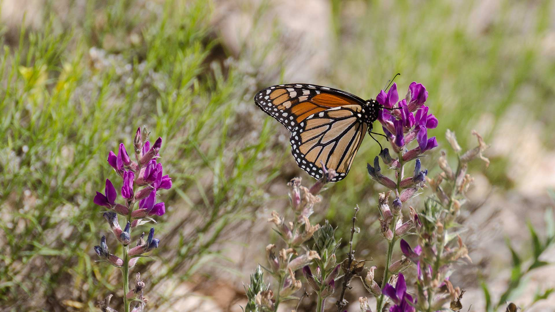 A monarch in Arizona.