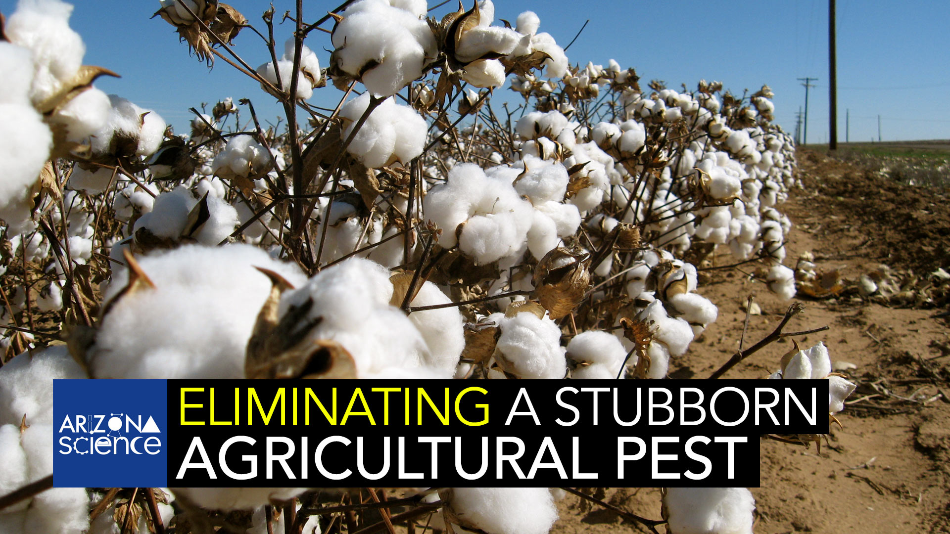 University of Arizona Entomologist Bruce Tabashnik has worked to eliminate the pink bollworm.