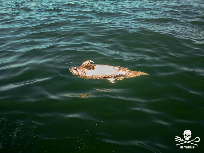 dead vaquita 2