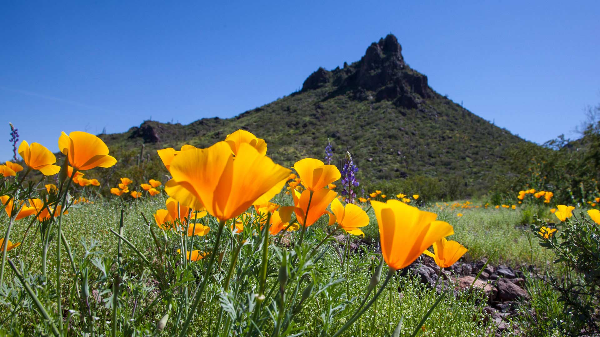 Picacho poppies