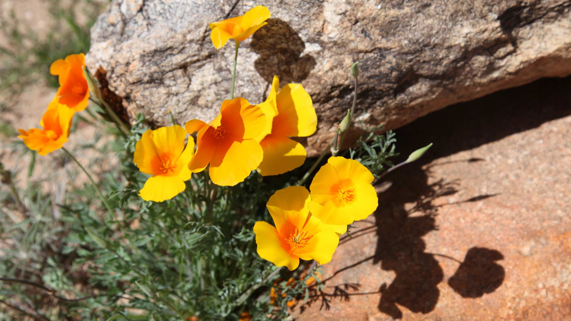 Many poppies are blooming at Catalina State Park, providing interesting color and shadows in the area, March 4, 2019.