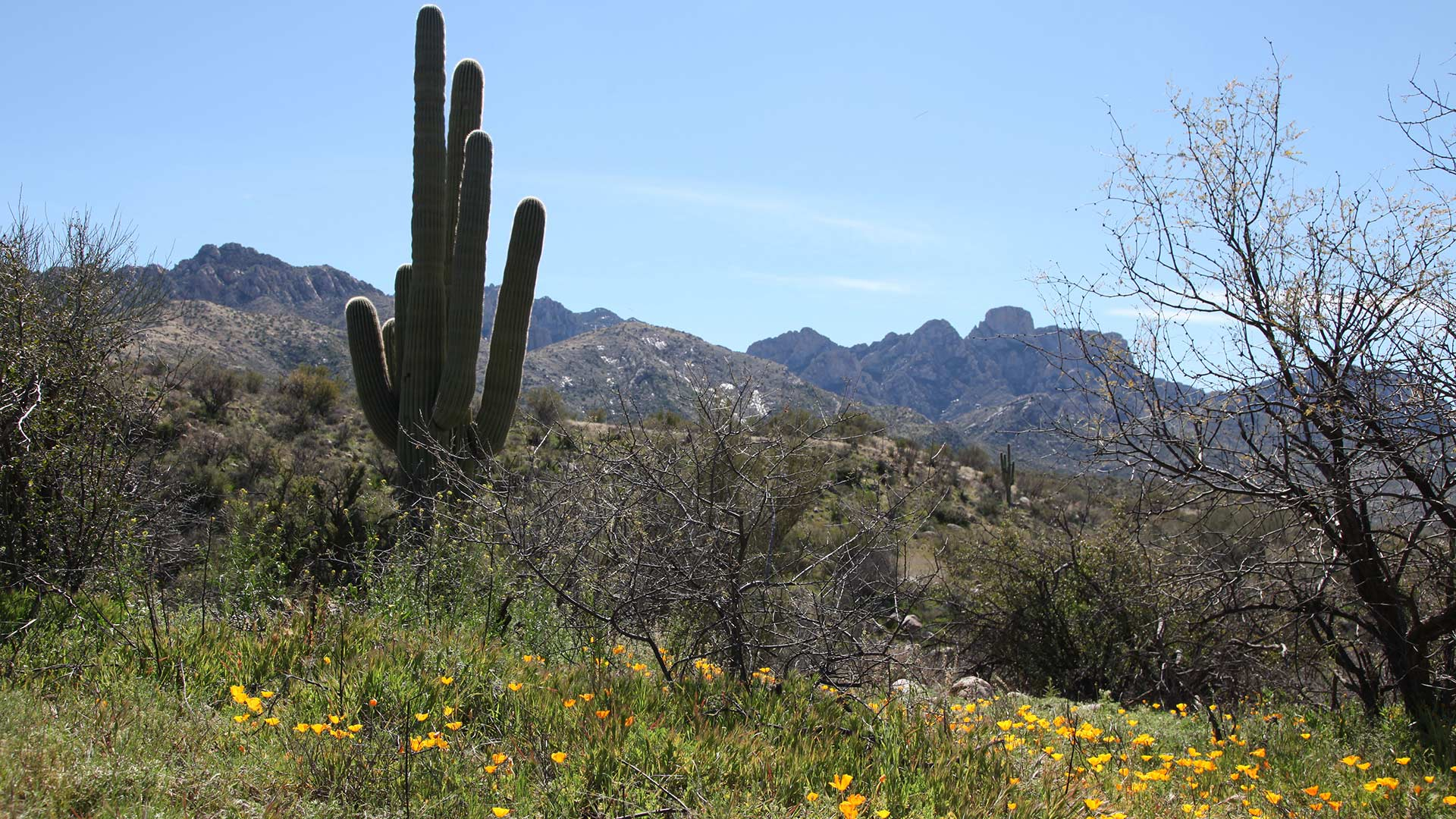 Catalina Saguaro Mountains Flowers