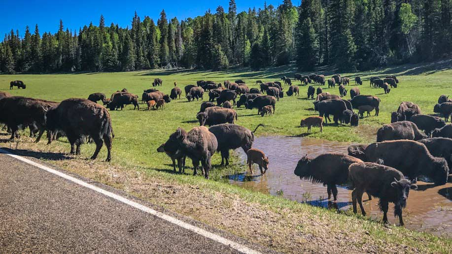 Bison near the Grand Canyon, alongside Highway 67. Bison are on the list on animal carcasses requested of Arizona Game and Fish.