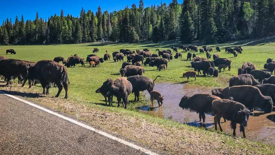 bison grand canyon