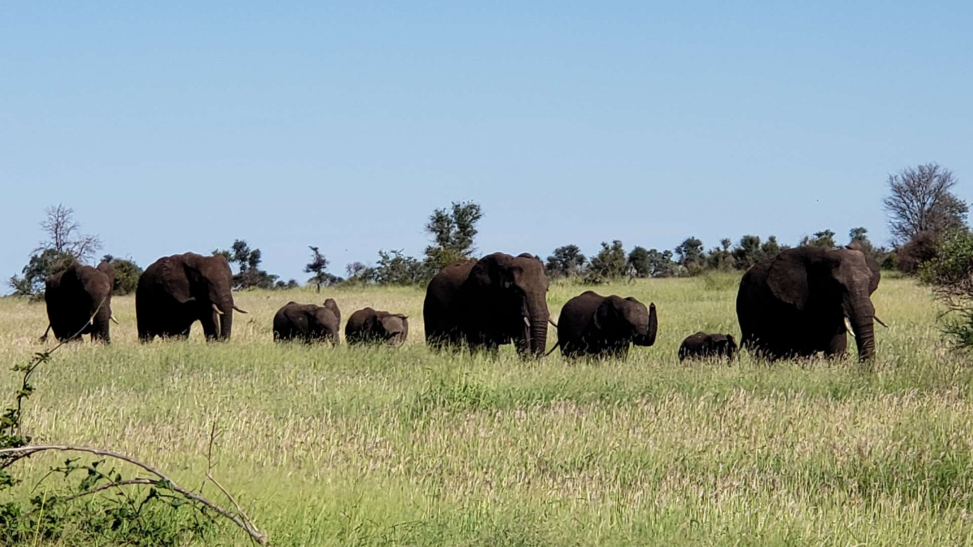 Researchers are studying the the impact of elephant populations on grassland trees and vegetation.