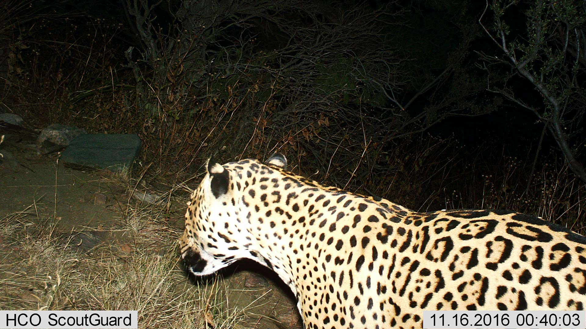 Male jaguar photographed in the Dos Cabezas Mountains Nov, 16, 2016.