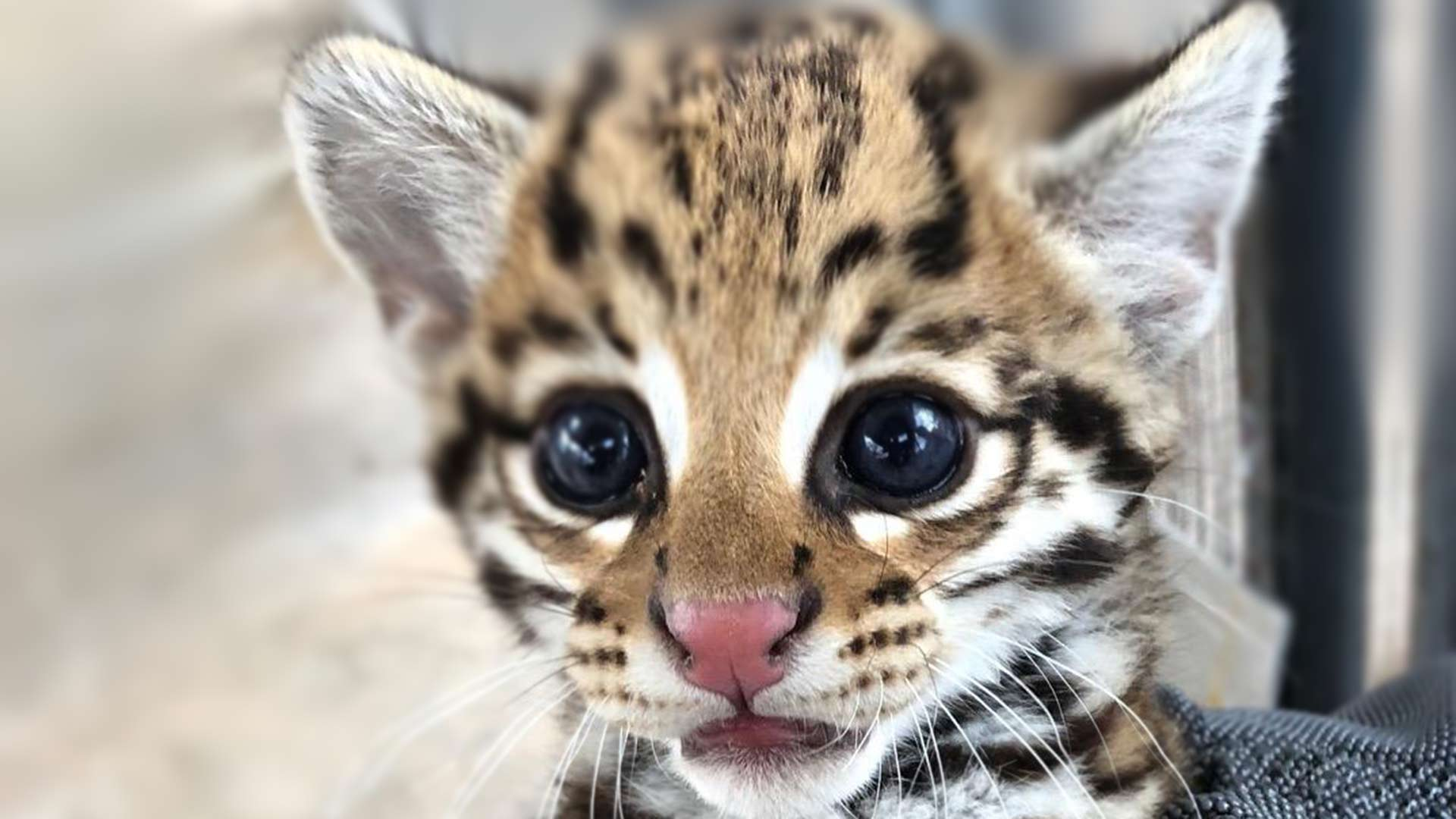 The Arizona-Sonora Desert Museum's newest resident: an ocelot kitten.