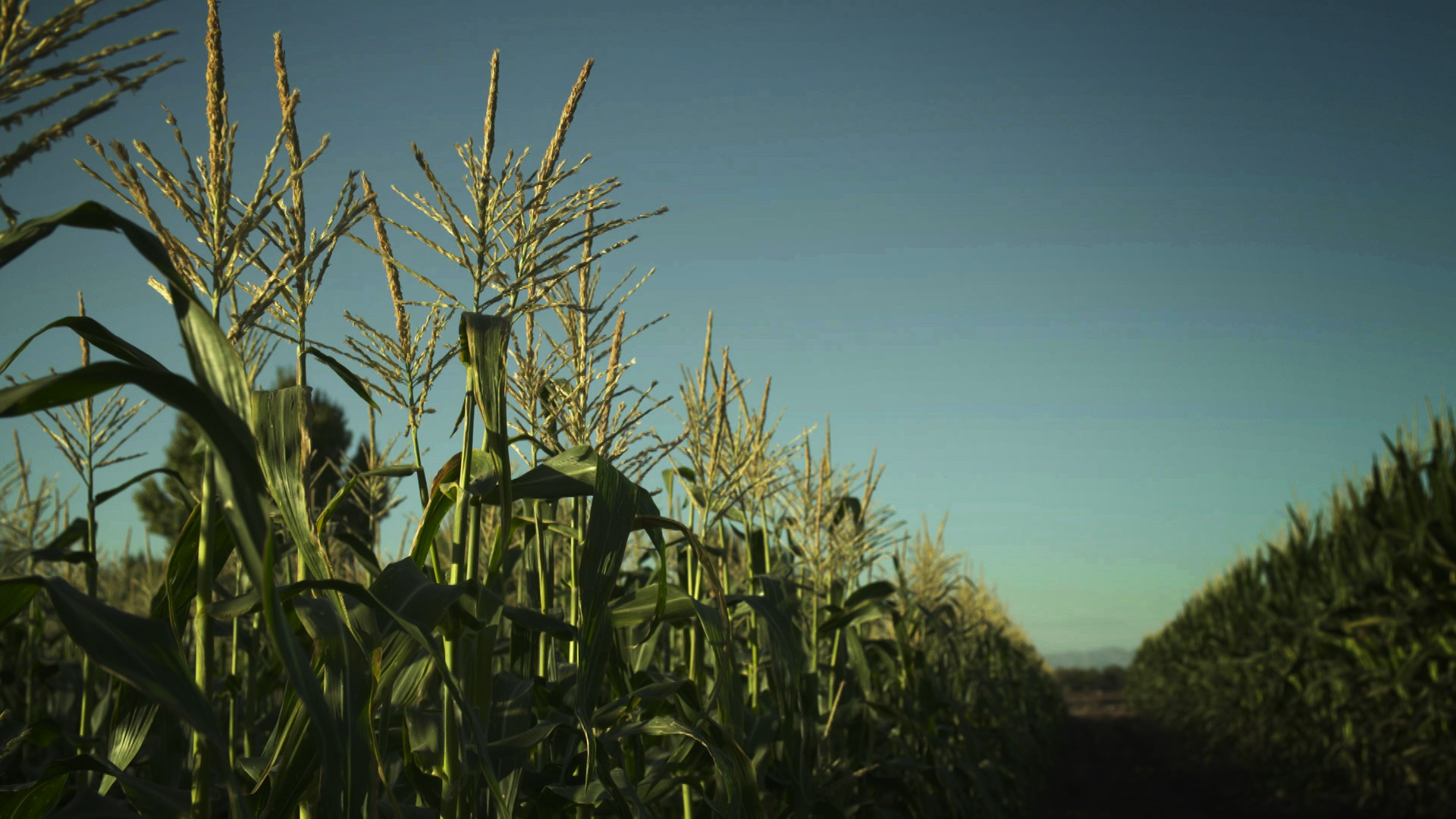 File image of a corn field in Arizona.