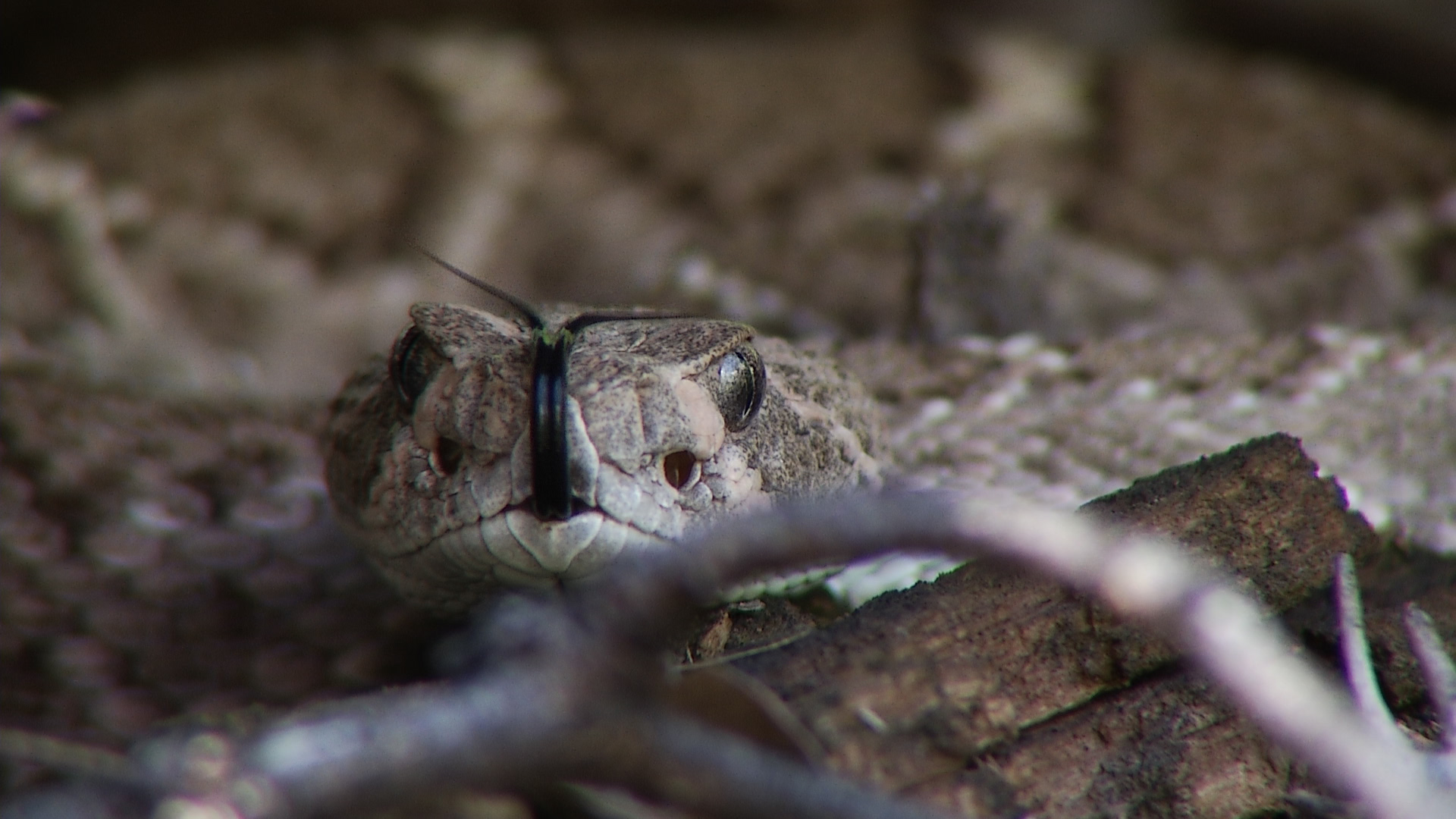 A diamondback rattlesnake flicks its tongue.